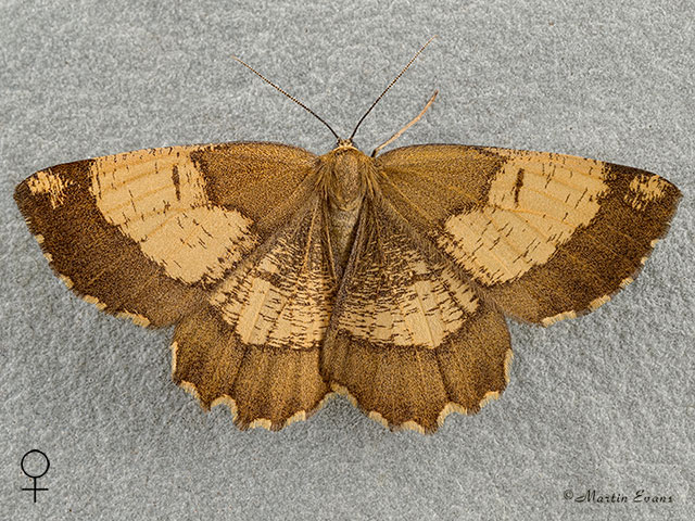 70.230 Orange Moth - colour form  Copyright Martin Evans
