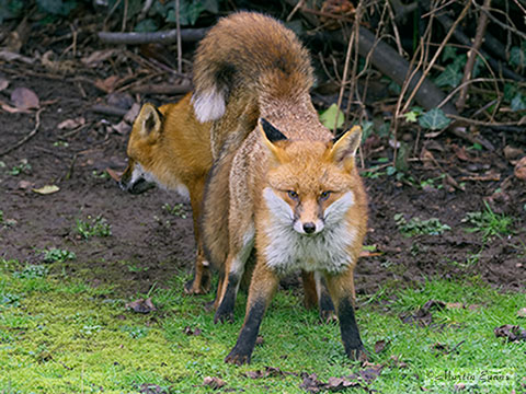 Mating foxes   Copyright Martin Evans