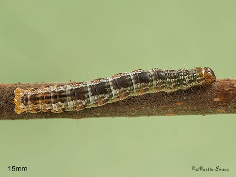 July Highflyer larva 15mm Copyright Martin Evans