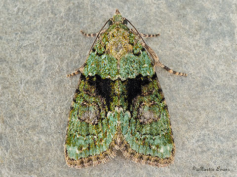 73.082 Tree-lichen Beauty  Copyright Martin Evans