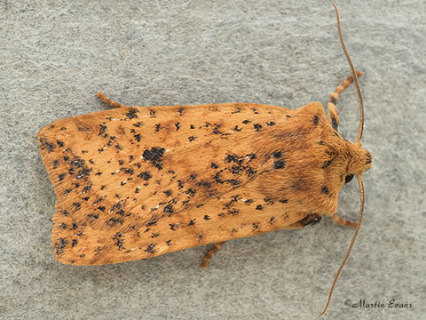 Dotted Chestnut Conistra rubiginea  Copyright Martin Evans