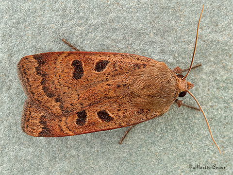 73.345 Lesser Yellow Underwing   Copyright Martin Evans