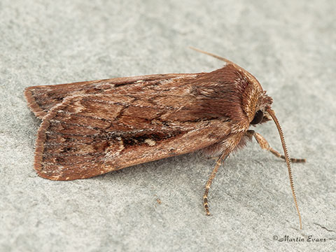 73.356 Heath Rustic  Copyright Martin Evans