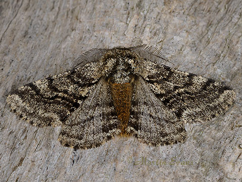 Brindled Beauty Lycia hirtaria - male   Copyright Martin Evans@WGUK