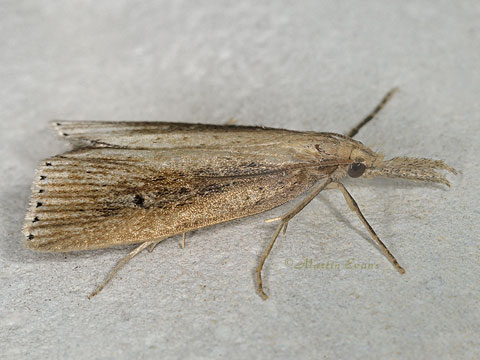 Chilo phragmitella - male     Copyright Martin Evans@WGUK
