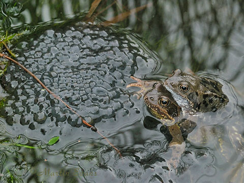 Common Frogs with spawn  Copyright Martin Evans@WGUK
