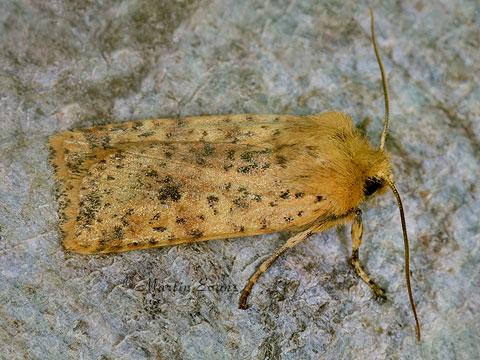Dotted Chestnut  Conistra rubiginea   Copyright Martin Evans@WGUK