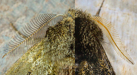 Antennae: Pale Brindled Beauty & Small Brindled Beauty  Copyright Martin Evans@WGUK