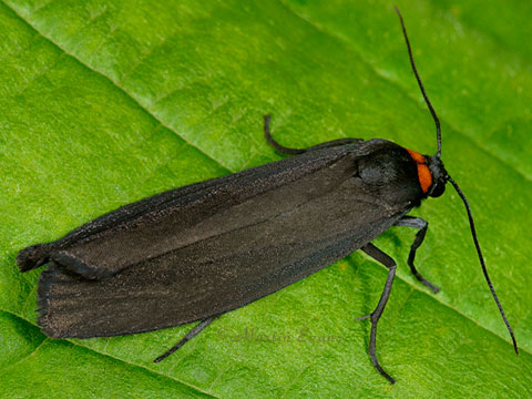 Red-necked Footman  Atolmis rubricollis    Copyright Martin Evans@WGUK