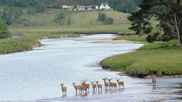 Red Deer first steps across the Dee  Copyright Martin Evans