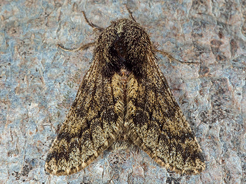 Small Brindled Beauty Apocheima hispidaria     Copyright Martin Evans@WGUK